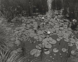 Aquatic Plants #1, Saddle River, NJ, George Tice