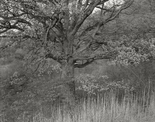 Oak Tree, Holmdel, NJ, , George Tice