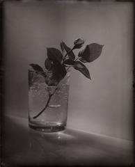 A White Rosebud, Josef Sudek