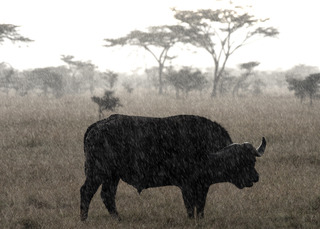 Cape Buffalo, Karen Schuenemann