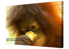 20130424114858-baby-orangutan-02-canvas