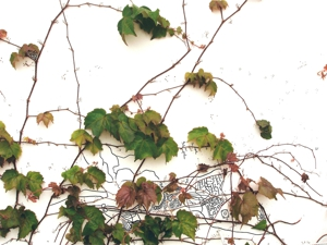 Topography_of_ivy