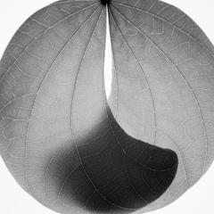 Camel Foot Leaf, Jeffrey Conley