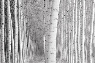 Leaning Poplars, Jeffrey Conley