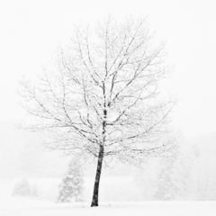 Lone Tree in Snow, Jeffrey Conley
