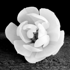 Magnolia, Jeffrey Conley