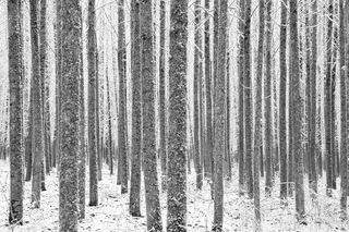 Poplars in Snow, Jeffrey Conley