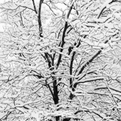 Snow Covered Branches,Jeffrey Conley