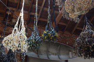 Various Button Algae Clusters, Clare Graham