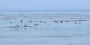20140729182350-pelicans_malibu