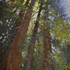 20150121022758-sequoia_redwoods_24x18_holladay