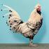 20150322154251-chicken_web