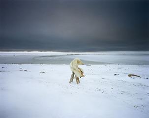 Polar Bear, Scarlett Hooft Graafland