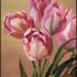 As_cropped20110113081718-tulips_-knife_painting