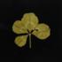 20151007043451-hollis-clover1