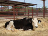 20160429093902-uc_davis_genetically_modified_bulls_013_400
